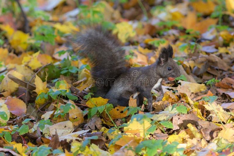 Zwarte eekhoorn met een noot royalty-vrije stock afbeeldingen