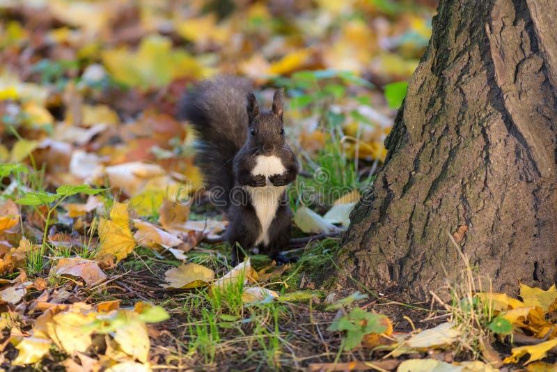 Zwarte eekhoorn onder een boom stock foto's
