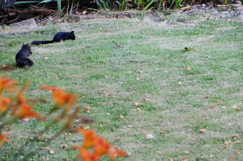 Zwarte Eekhoorns stock fotografie