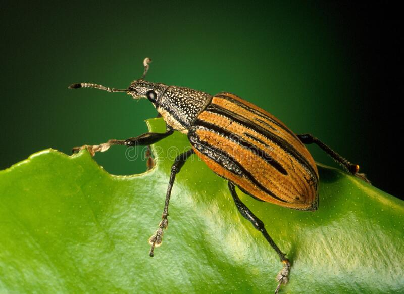 Zwarte en bruine insekte op groen lef stock fotografie