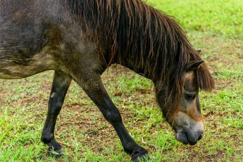 Zwarte en bruine poney royalty-vrije stock afbeelding