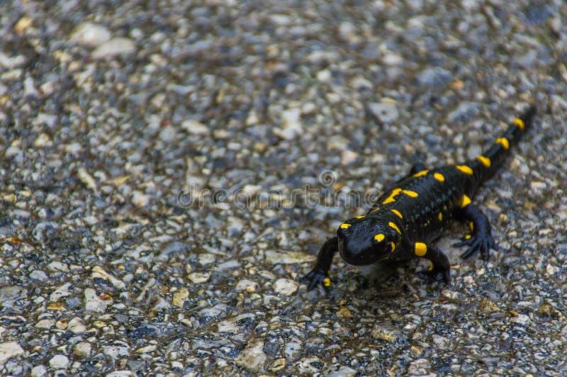 Zwarte en gele brandsalamander op een weg royalty-vrije stock afbeeldingen