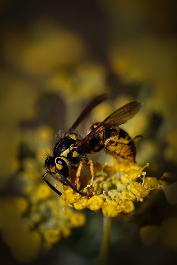 Zwarte en gele jasjewesp stock afbeeldingen