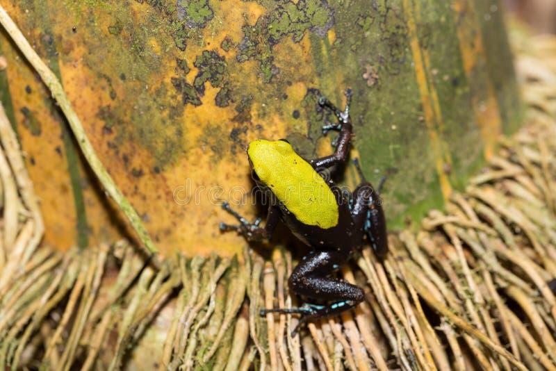 Zwarte en gele kikker die Mantella, Madagascar beklimmen stock afbeeldingen
