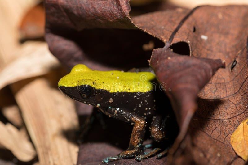 Zwarte en gele kikker die Mantella, Madagascar beklimmen royalty-vrije stock fotografie
