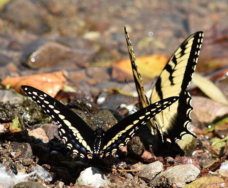Zwarte en Gele Swallowtails royalty-vrije stock foto