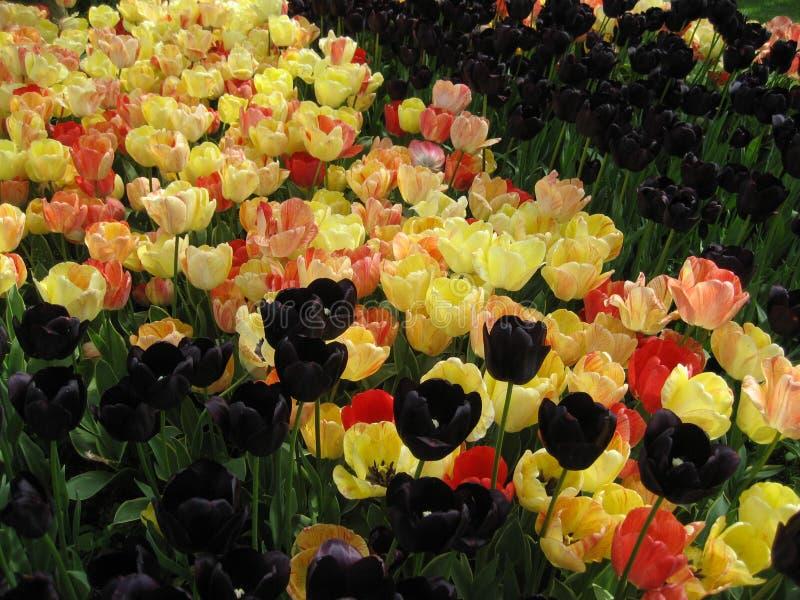 Zwarte en gele tulpen stock fotografie