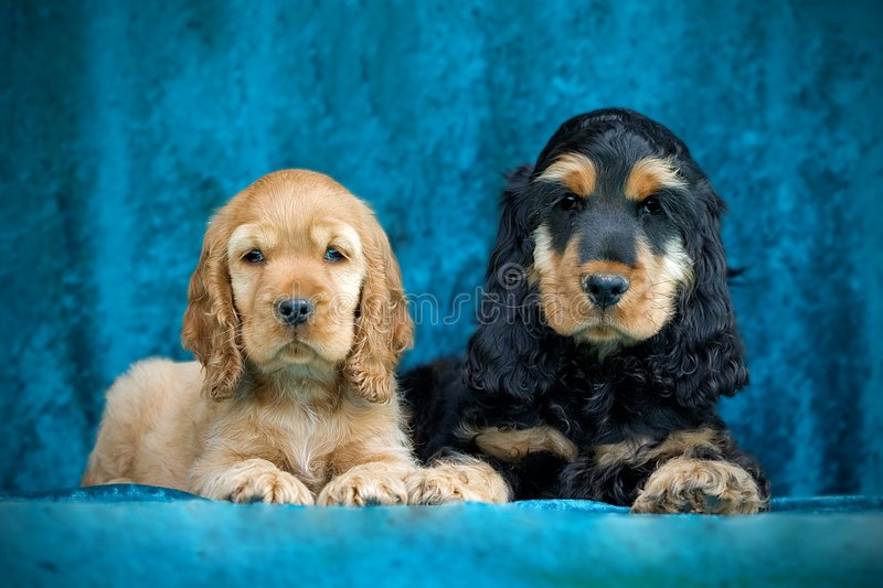 Zwarte en gouden puppy Engelse cocker stock fotografie