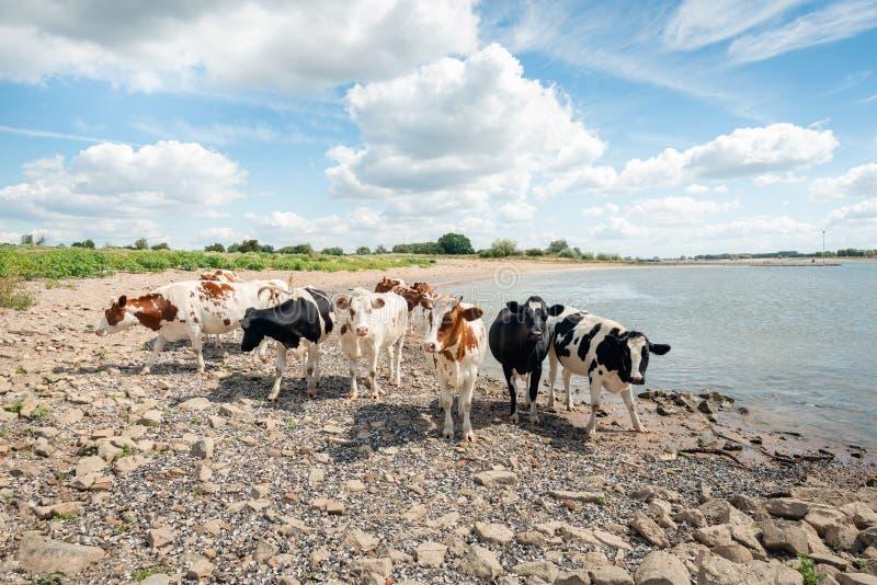 Zwarte en rode bevlekte koeien bij de rand van een rivier royalty-vrije stock afbeeldingen
