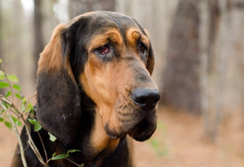 Zwarte en Tan Bloodhound Dog royalty-vrije stock afbeelding
