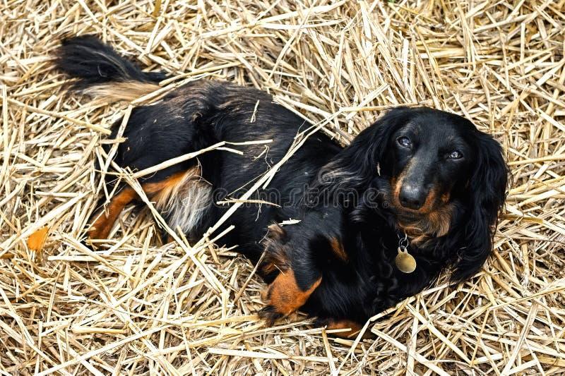 Zwarte en Tan Long-Haired Dachshund Laying in een Bed van Stro in de tuin royalty-vrije stock fotografie