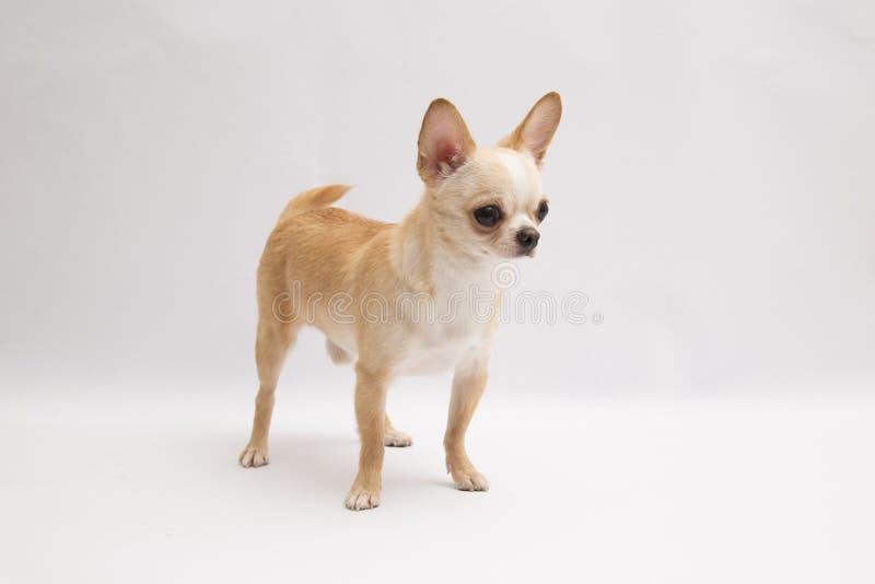 Zwarte en tan room lange met een laag bedekte Chihuahua over witte achtergrond royalty-vrije stock afbeelding