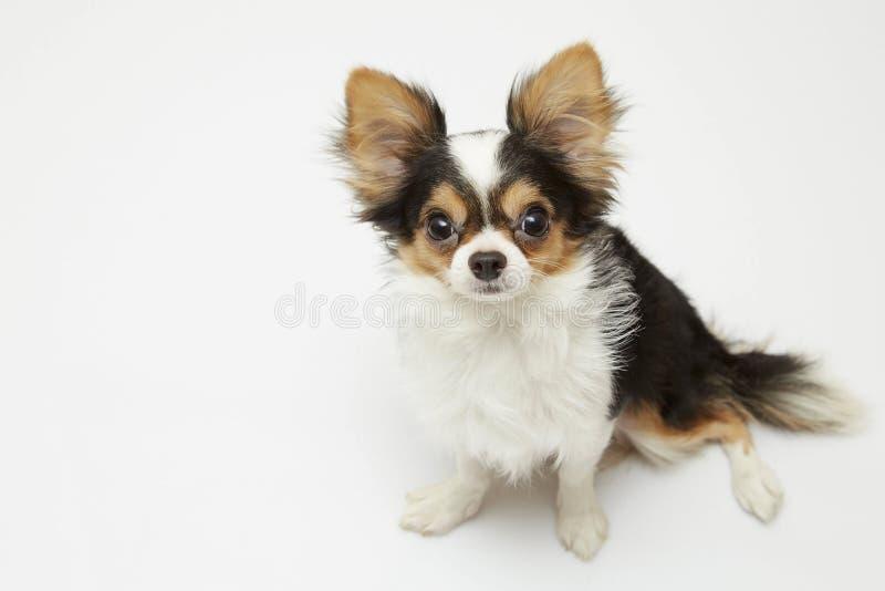 Zwarte en tan room lange met een laag bedekte Chihuahua over witte achtergrond royalty-vrije stock foto's