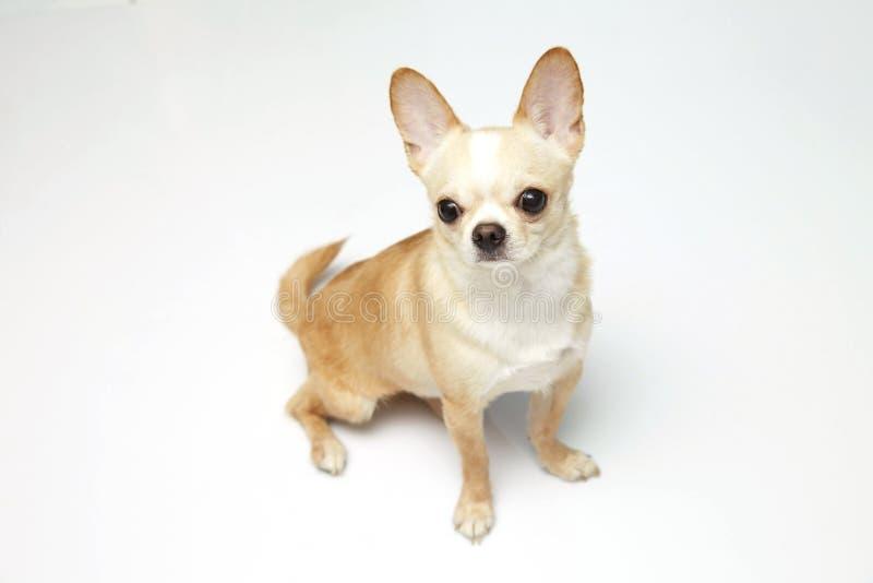 Zwarte en tan room lange met een laag bedekte Chihuahua over witte achtergrond royalty-vrije stock fotografie