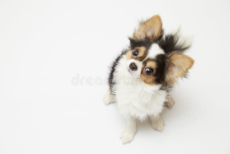 Zwarte en tan room lange met een laag bedekte Chihuahua over witte achtergrond royalty-vrije stock foto