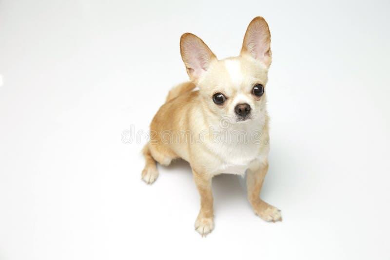 Zwarte en tan room lange met een laag bedekte Chihuahua over witte achtergrond stock afbeelding