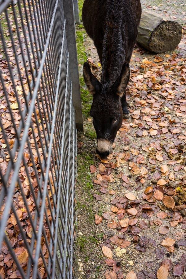 Zwarte ezel die zich bij omheining in dierlijk park bevinden stock fotografie