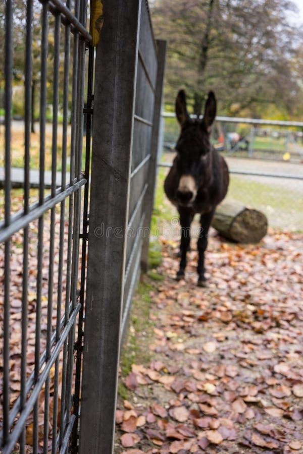 Zwarte ezel die zich bij omheining in dierlijk park bevinden royalty-vrije stock afbeeldingen