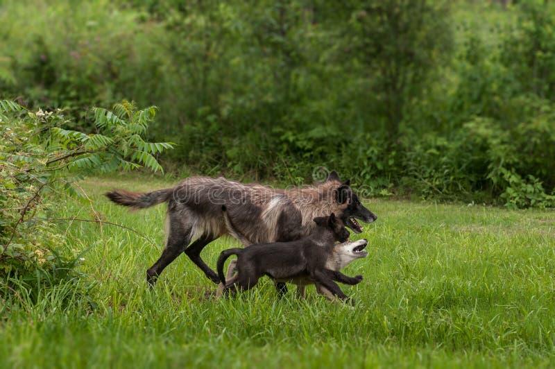 Zwarte Fase Grey Wolf (Canis-wolfszweer) en Jongenlooppas royalty-vrije stock fotografie