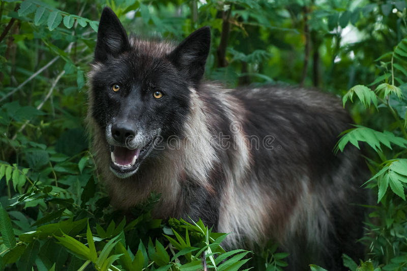 Zwarte Fase Grey Wolf (Canis-wolfszweer) in Groen stock fotografie