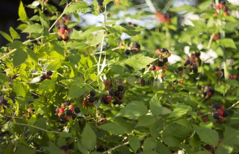 Zwarte framboos - rijpe bessen in de tuin in de zomer Zonnige dag royalty-vrije stock fotografie