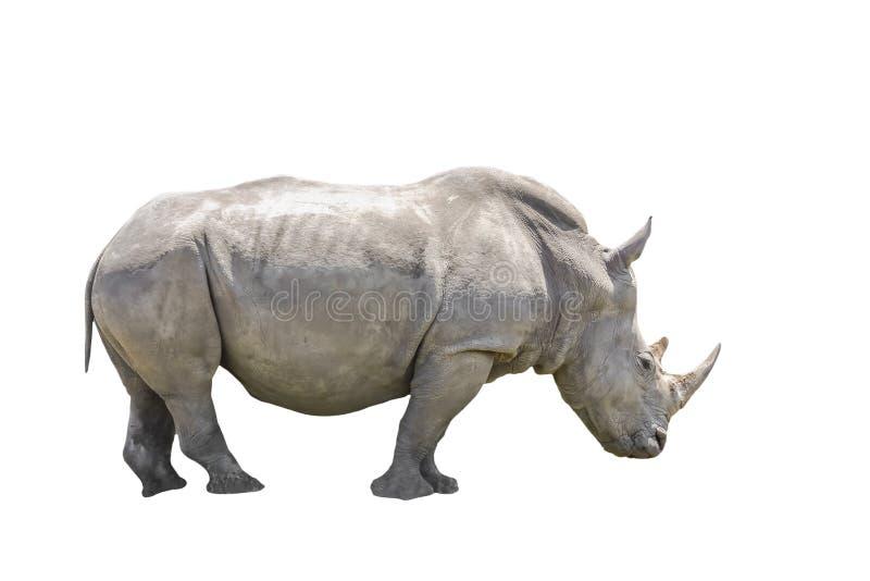 Zwarte geïsoleerde Rinoceros, stock fotografie