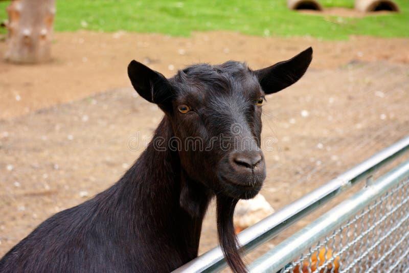 Zwarte geit royalty-vrije stock afbeelding