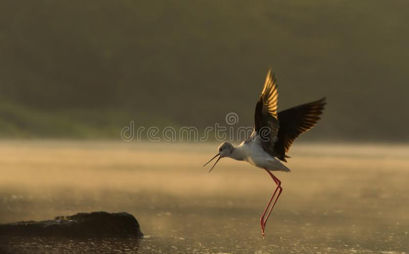 Zwarte gevleugelde steltvogel die in gouden licht vliegen stock foto