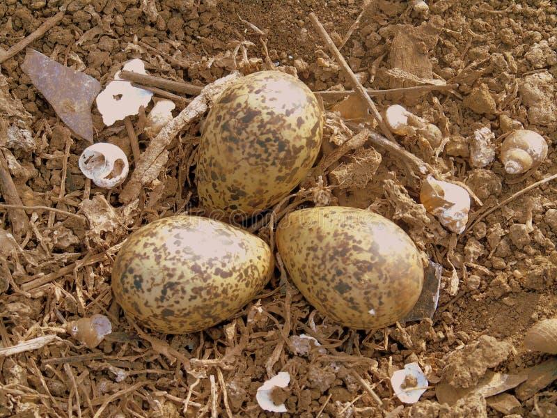 Zwarte gevleugelde stilt& x27; s eieren stock afbeeldingen