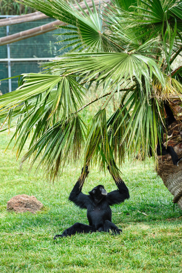 Zwarte Gibbon in dierentuin royalty-vrije stock afbeeldingen