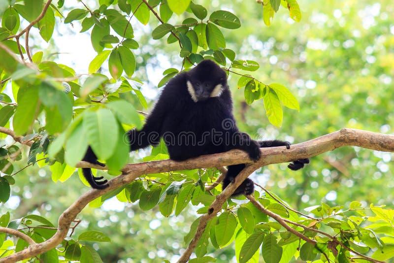 Zwarte gibbon op de boom royalty-vrije stock afbeelding