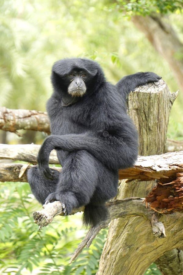 Zwarte gibbonnen royalty-vrije stock foto