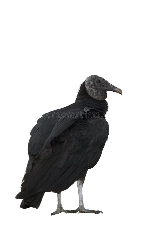 Zwarte gier stock foto's
