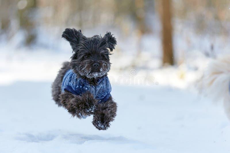 Zwarte havanese hond in sneeuw het lopen stock fotografie