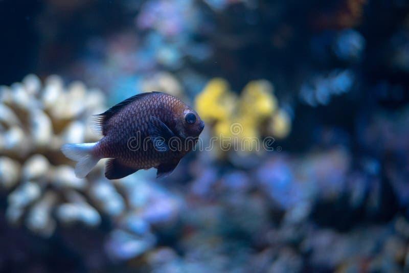 Zwarte Hawaiiaanse dascyllus die door een koraal zwemmen reeef stock fotografie