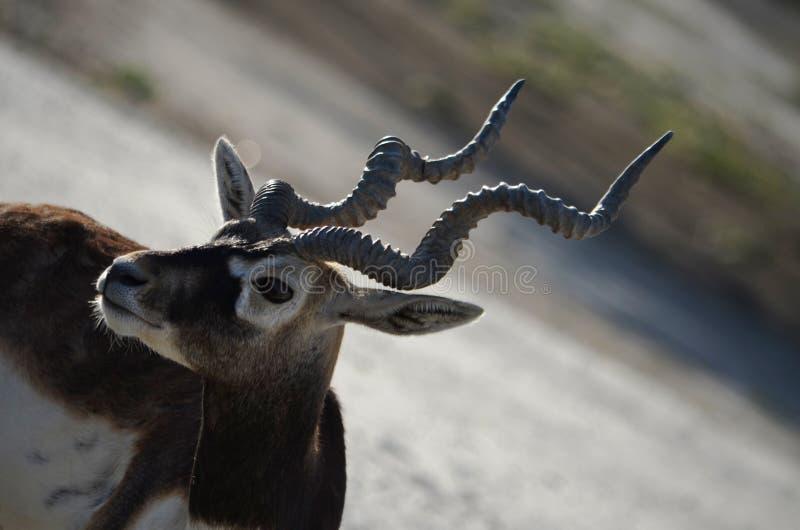 Zwarte hert-2, Talchapur, Sujangarh, Churu, Rajasthan, India stock foto's