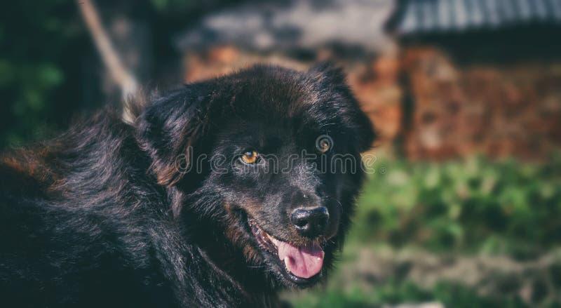 Zwarte hond royalty-vrije stock foto's