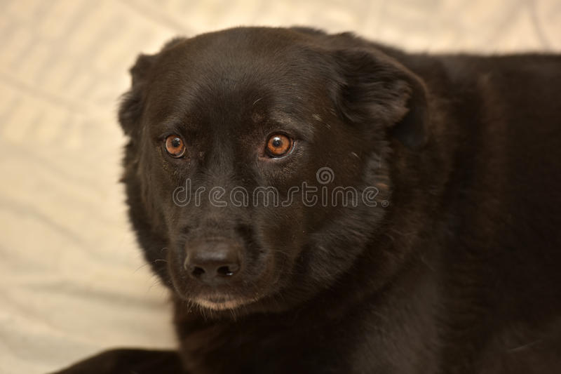 Zwarte hond bastaarde ongelukkig stock fotografie