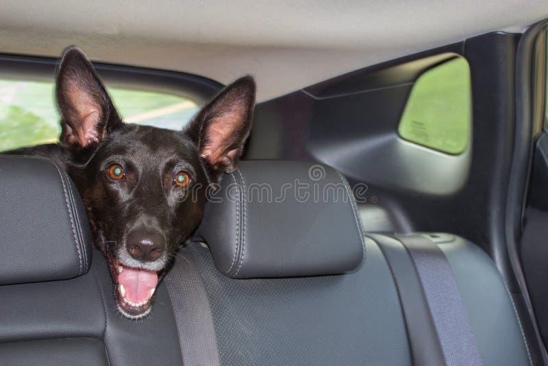Zwarte hond in de auto royalty-vrije stock foto