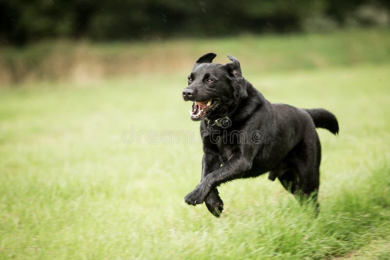 Zwarte hond die in grasgebied het springen lopen royalty-vrije stock foto's