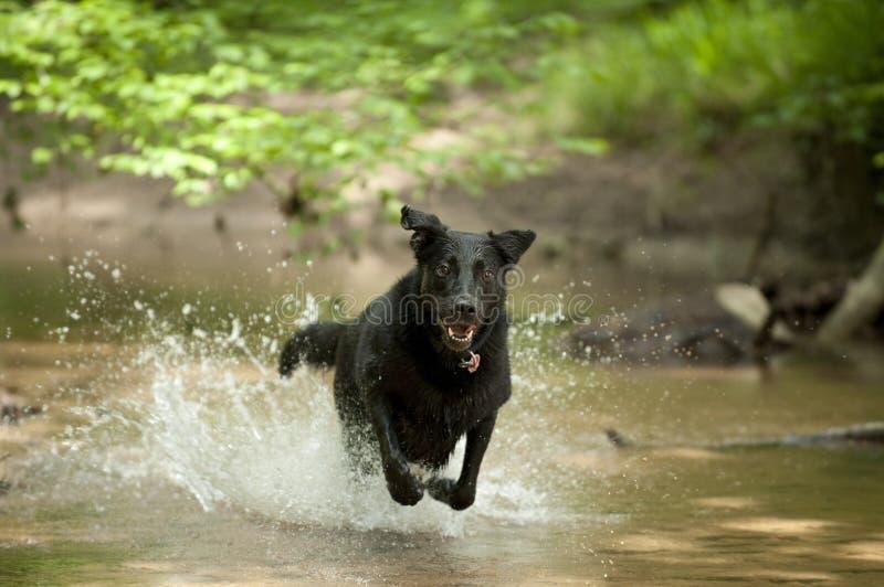 Zwarte Hond die (Labrador) Water doorneemt stock foto