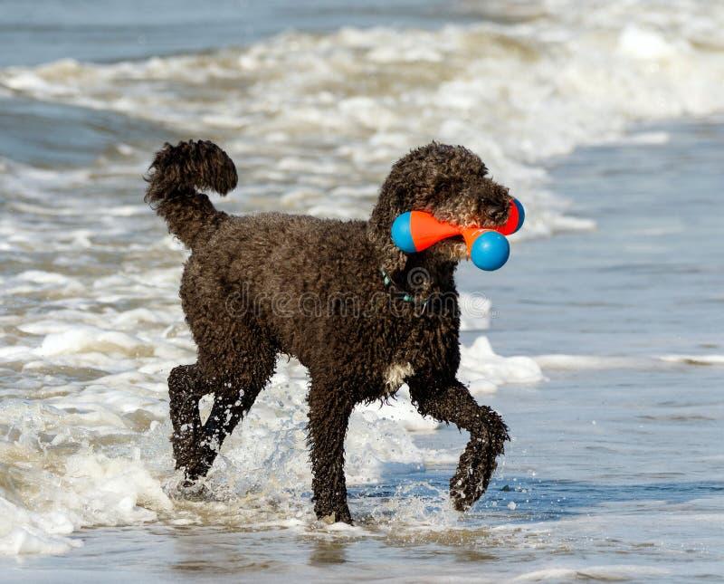 Zwarte hond die pret in zeewater van de Atlantische Oceaan hebben royalty-vrije stock afbeeldingen