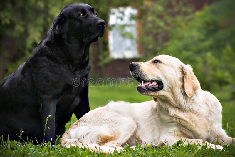 Zwarte hond en witte hond, op groen gras stock fotografie