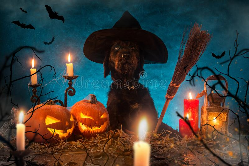 Zwarte hond met Halloween-pompoenen op houten planken stock fotografie