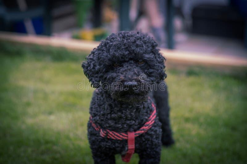 Zwarte hond met rode streep stock afbeelding