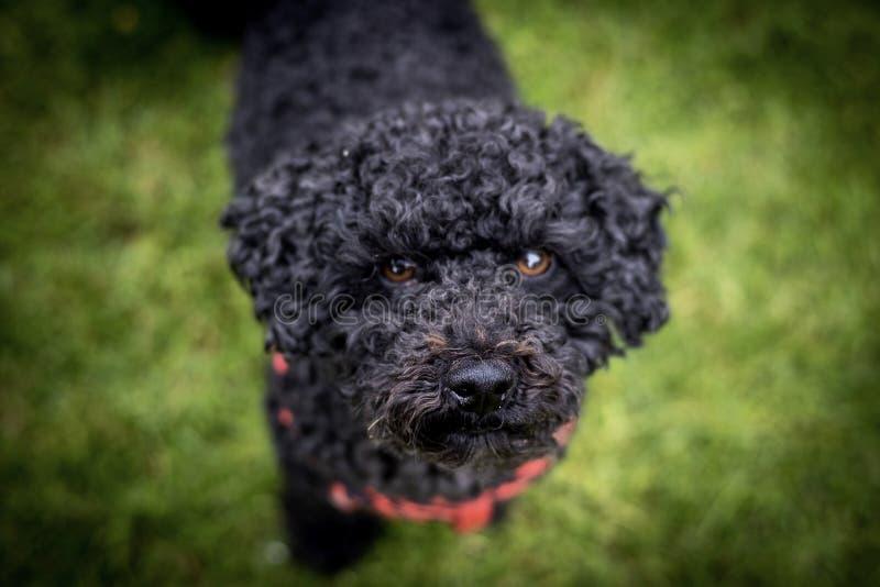 Zwarte hond met rode streep stock foto