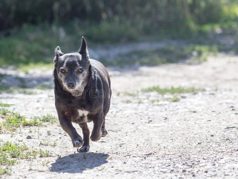 Zwarte hond op de looppas royalty-vrije stock afbeeldingen