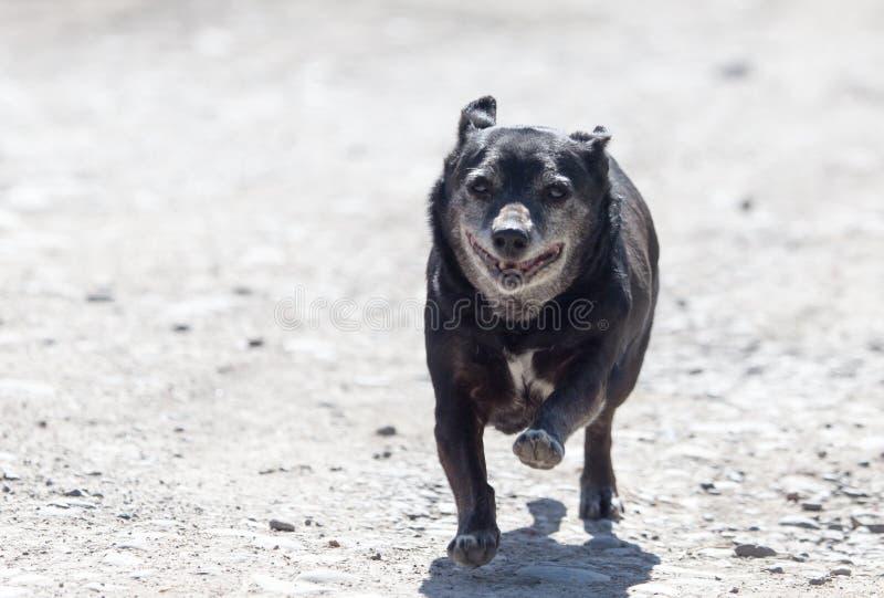 Zwarte hond op de looppas stock afbeeldingen