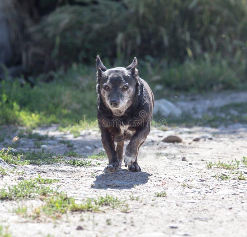 Zwarte hond op de looppas royalty-vrije stock foto's