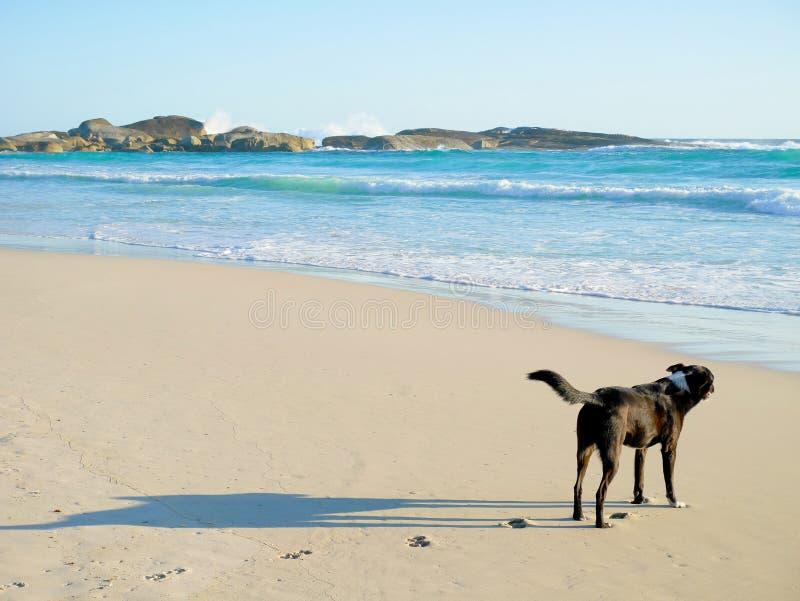 Zwarte hond op het strand stock afbeelding